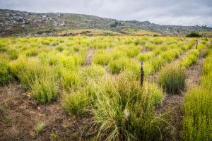 Buchu veld - Foto Stefano Adami