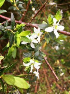 Agathosma Betulina - Buchu - Cape Floral Kingdomn